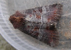 Rosy minor moth