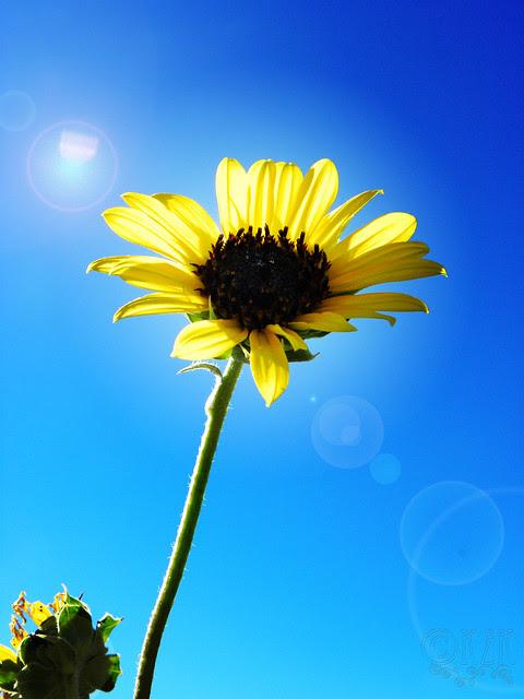 DSCN4334 Sunflower
