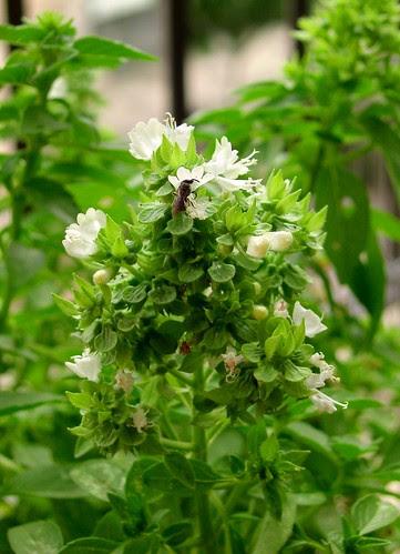 La Albahaca en la Herbloguisteria