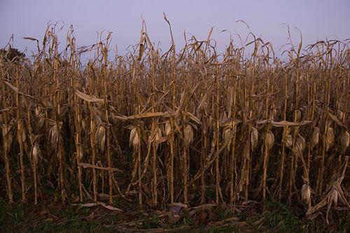 Waiting Corn Stalks.