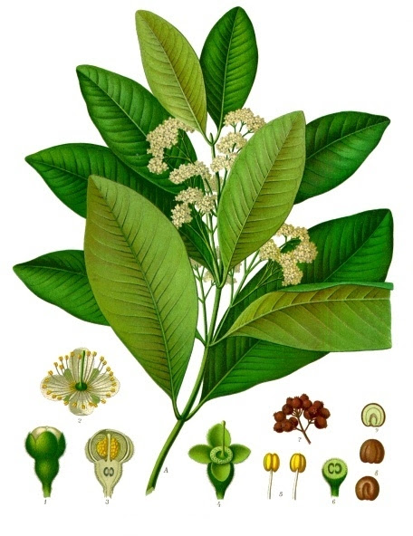 File:Pimenta dioica - Köhler–s Medizinal-Pflanzen-239.jpg