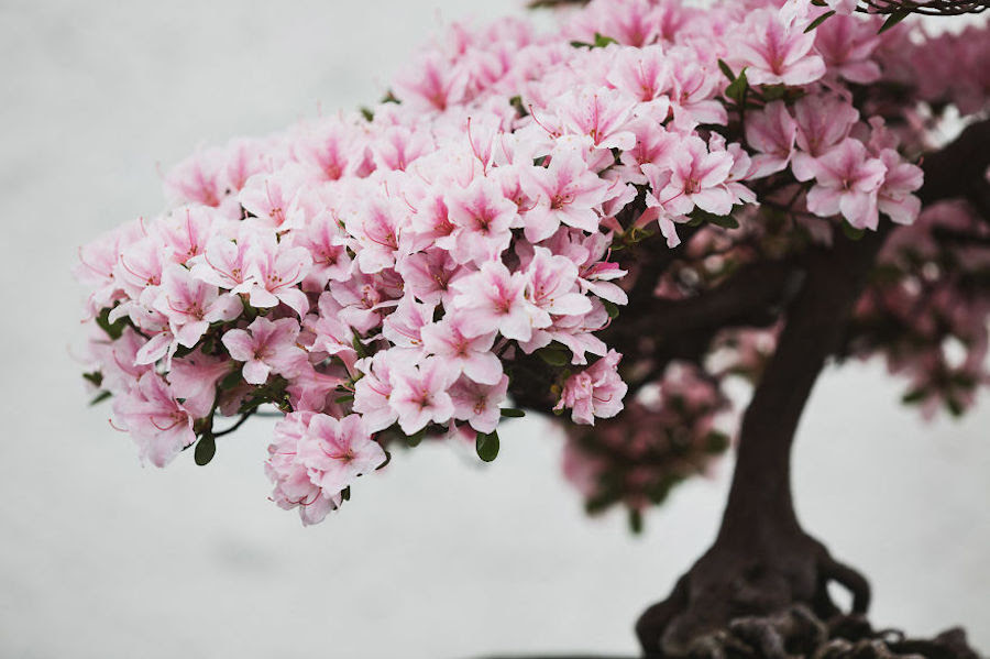 Beautiful and Diverse Bonsai Trees Around the World1