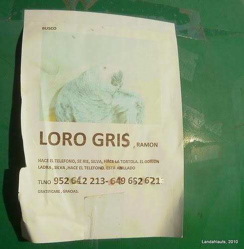 Loro Gris