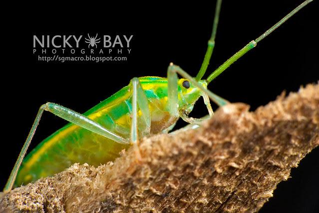 Mirid Bug (Miridae) - DSC_5710