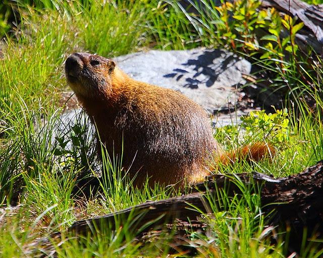 IMG_1659 Marmot? Taggart Lake Trail, Grand Teton National Park