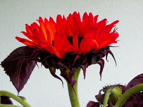 Sun(set)flower 4/4
