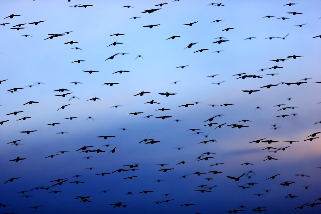 Starlings and Blue Dusk