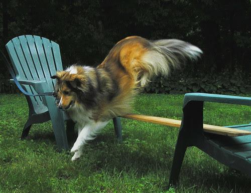 Toonie in training