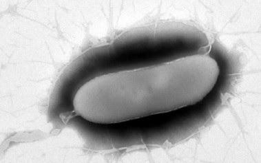 <p>La nueva bacteria<em>Pseudomonas versuta</em> hallada en la Antártida. / Álvaro Peix.</p>