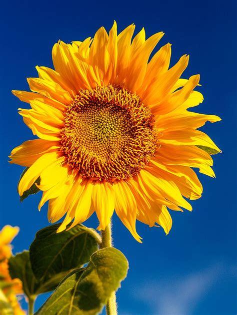 bagus  wallpaper bunga  iphone gambar bunga indah