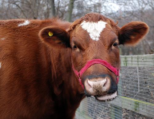 Heeley City Farm 059_edited-1 copy cow