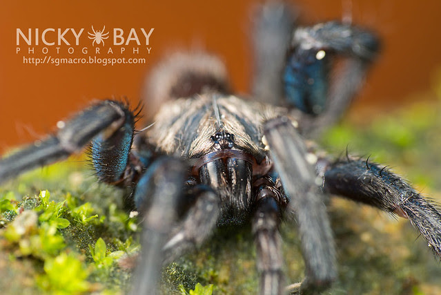 Brush-Footed Trapdoor Spider (Barychelidae) - ESC_0063