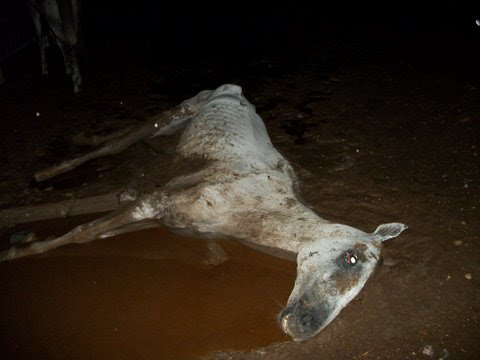 Grey Horse dying