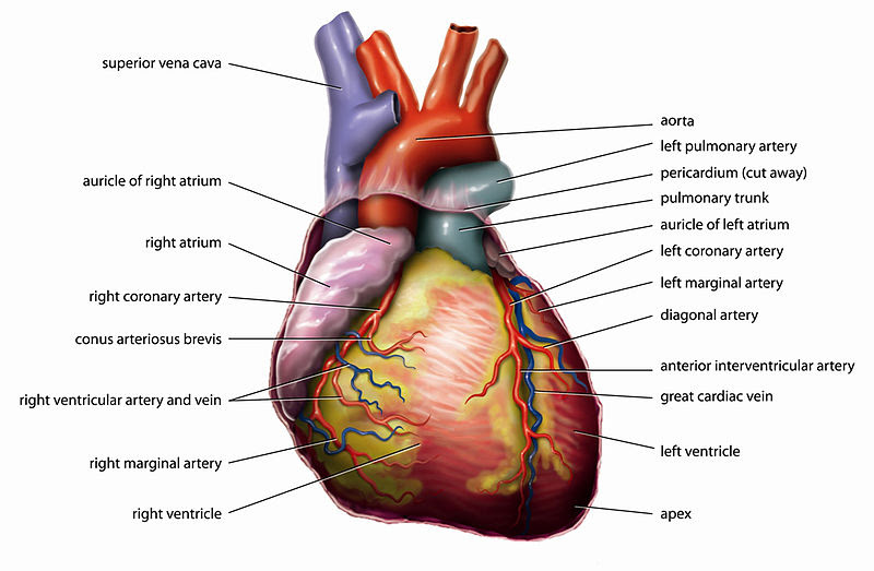 File:Anatomy Heart English Tiesworks.jpg