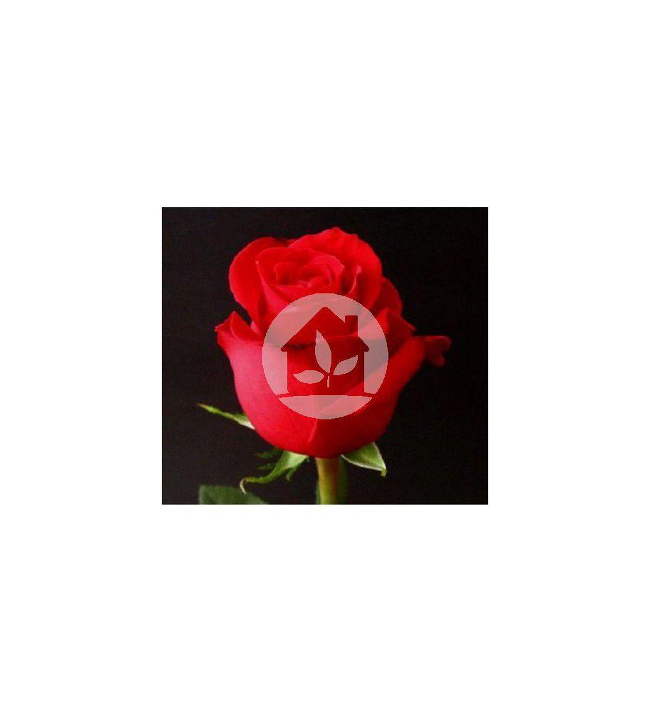 Rosa Roja Extra 40 Cm Wwwsuhuertoencasacom