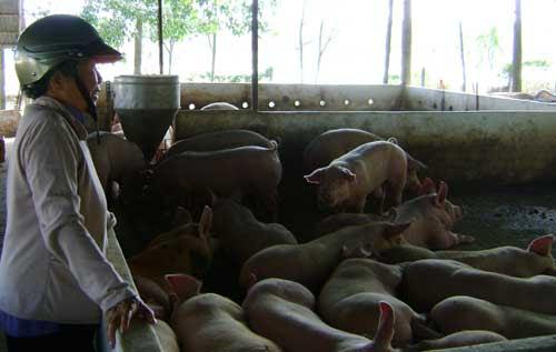 Heo tăng giá là niềm vui cho các hộ chăn nuôi trên địa bàn