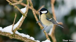 O pássaro pesquisado pelos cientistas de Oxford (Imagem: Thor Veen)