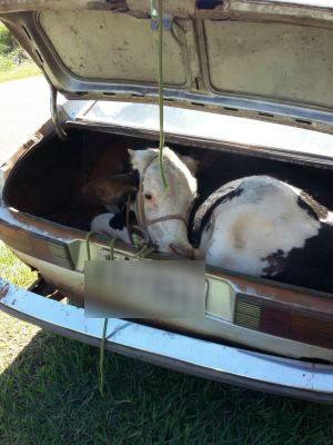 Animal foi colocado no porta-malas (Foto: J. Serafim / Divulgação)