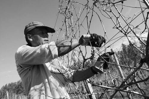 Roberto Tellis trabaja en la poda de la viña propiedad de Alberto Crescionini, quién donó la próxima zafra a la cooperativa.