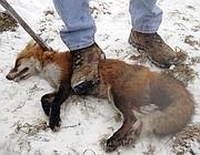 Una delle foto choc diffuse dalla Lav sulla cattura di animali in natura