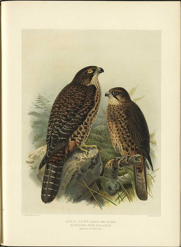 Quail Hawk - Hieracidea novae-zelandiae