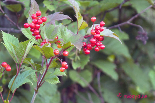 Highbush cranberry05.jpg