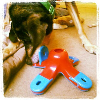 Tut loves the new #dogtoy #puzzle by #Kyjen #happydog #braintoy #dogs #dogstagram