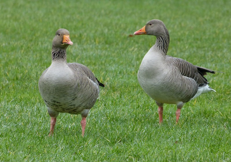 29235 - Greylag Goose, Sandy Water Park
