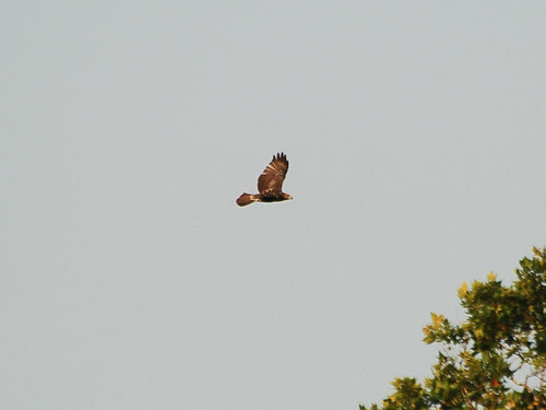 Red-Tail Fledgling over Morningside Park