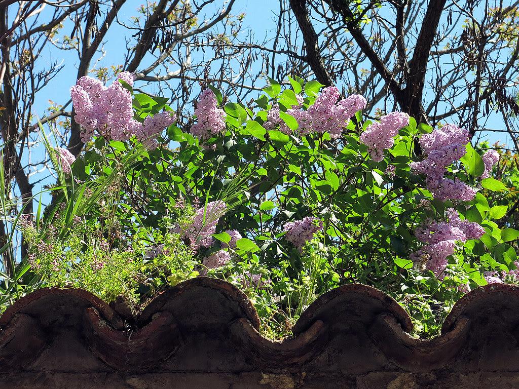 ya asoman las lilas sobre el cercado del huerto de la Marquesa de Villa Antonia