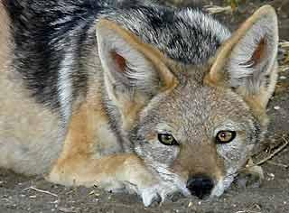 Image result for jackal pictures