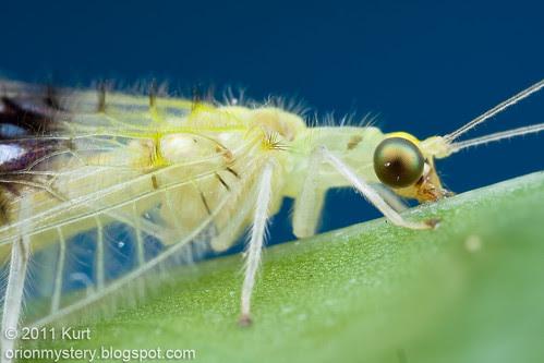 Semachrysa jade new lacewing species IMG_1630 copy