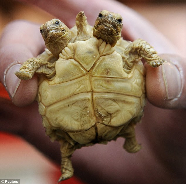 Double header: Magda (left) and Lenka make up a seven-week-old African Spurred Tortoise discovered in Slovakia