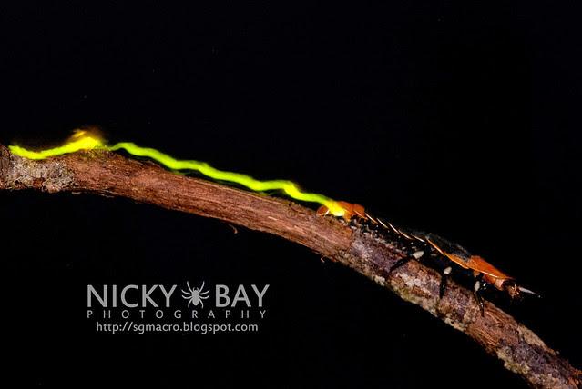 Firefly larva (Lampyridae) - DSC_5561