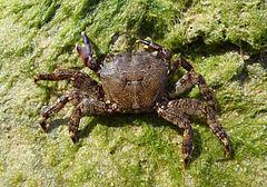Pachygrapsus marmoratus 2009 G3.jpg