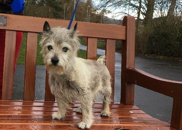 Spike – 14 year old male Cairn Terrier