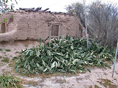 Spineless Cactus - Vandalized