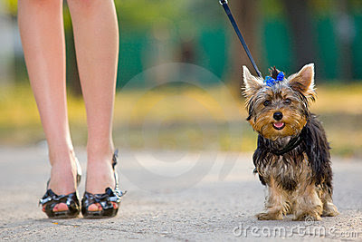 Femme Avec Le Chien Terrier Minuscule Images libres de droits - Image: 8372809