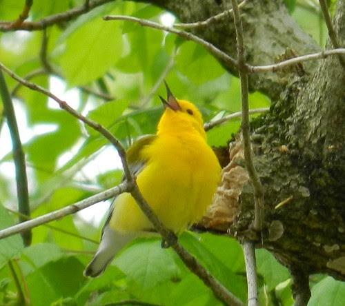 prothonotary warbler singing