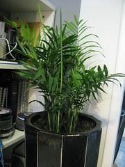 Areca Silk Palm