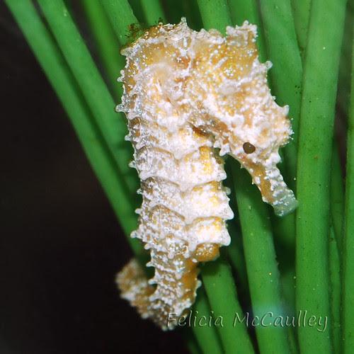 Dwarf Seahorse Female