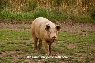 Pig in the Pasture, Waupaca County, Wisconsin