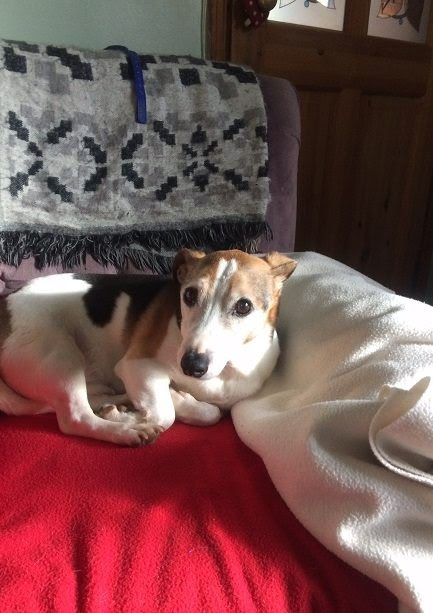 Toby – 15 year old male Jack Russell Terrier