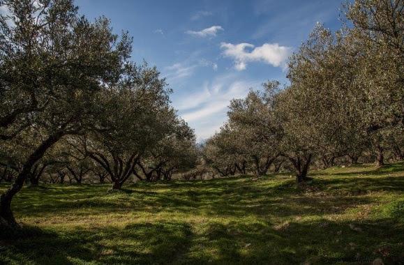 Η Πλουτή της βιολογικής καλλιέργειας: Πάνω από ένα ευρώ διαφορά με το κοινό ελαιόλαδο