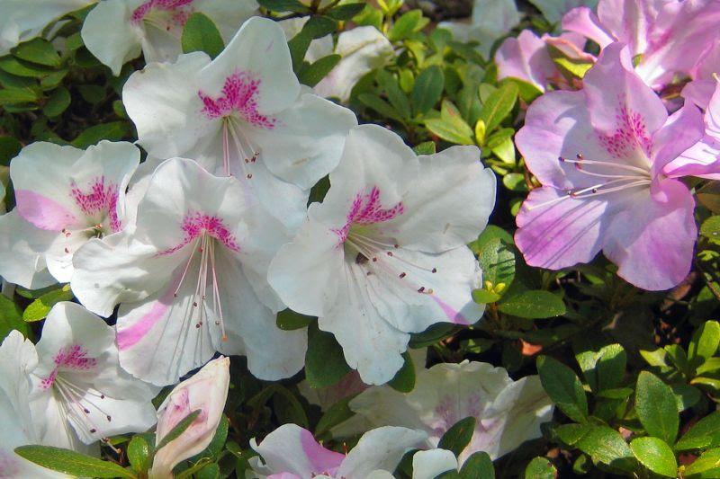 Azaleas at Garvin Woodland Gardens Hot Springs Arkansas