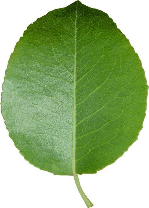 leaf cut sheet transparent  photo  pixabay