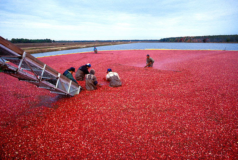 File:Cranberrys beim Ernten.jpeg
