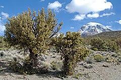 Quenua trees.jpg