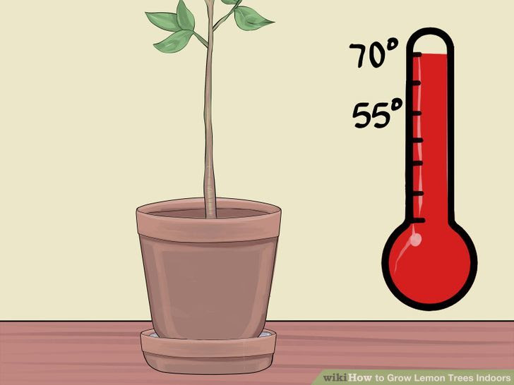 Grow Lemon Trees Indoors Step 15 Version 2.jpg