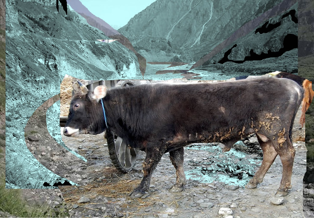 schoene-kaukasus-bull